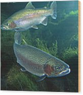 Rainbow Trout Oncorhynchus Mykiss Pair Wood Print
