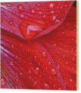 Raindrops On Amaryllis Wood Print