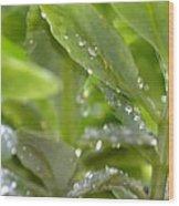 Raindrops On Sedum Wood Print