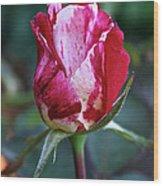 Raspberry Swirl Rose Wood Print