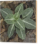 Rattlesnake Plantain A Study In Leaves Wood Print