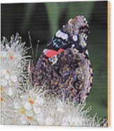 Red Admiral With Folded Wings Wood Print