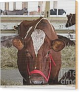Red And White Cow In A Stable Close Up Wood Print