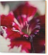 Red And White Dianthus Wood Print