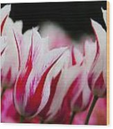 Red And White Tulips In Holland Wood Print