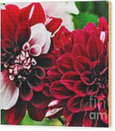 Red And White Variegated Dahlia Wood Print