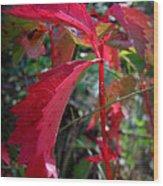 Red Autumn Woodbine Wood Print