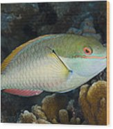 Red-banded Parrotfish Bonaire Wood Print