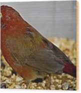 Red Billed Fire Finch Wood Print