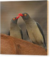 Red-billed Oxpeckers Wood Print