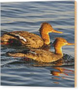 Red Breasted Mergansers Wood Print