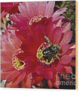 Red Cactus Flower With Bumble Bee Wood Print