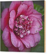 Red Camellia Wood Print by Teresa Mucha