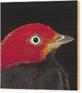 Red-capped Manakin Pipra Mentalis Male Wood Print