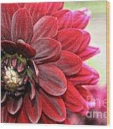 Red Carpet Dahlia Wood Print