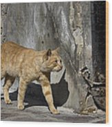 Red Cat In Burano Wood Print