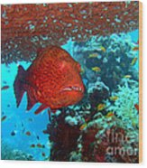 Red Close-up Grouper Wood Print