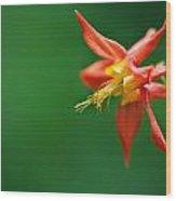 Red Columbine Aquilegia Formosa Wood Print