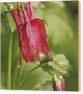 Red Columbine Wood Print