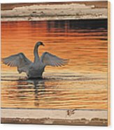 Red Dawn Swan Framed In Old Window Frame Wood Print
