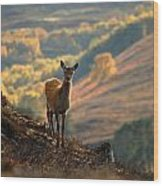 Red Deer Calf Wood Print
