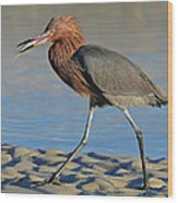 Red Egret With Fish Wood Print