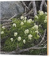 Red Elder (sambucus Racemosa) Wood Print