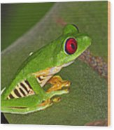 Red-eyed Leaf Frog Wood Print by Tony Beck