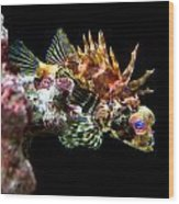 Red Eyed Scorpion Fish Wood Print
