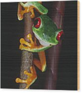 Red-eyed Tree Frog Agalychnis Callidryas Wood Print