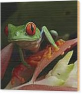 Red-eyed Tree Frog In Costa Rica Wood Print
