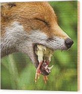 Red Fox Eating A Chick Wood Print