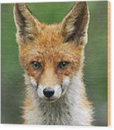 Red Fox Vulpes Vulpes, Hoge Veluwe Wood Print