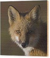 Red Fox Vulpes Vulpes Portrait, Alaska Wood Print