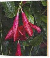 Red Fuschia Buds In The Rain. Wood Print