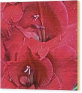 Red Gladiolus Wood Print by Susan Herber