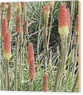Red Hot Poker (kniphofia 'atlanta') Wood Print