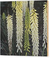 Red Hot Poker (kniphofia 'little Maid') Wood Print