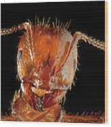 Red Imported Fire Ant Solenopsis Wood Print