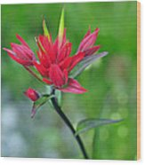 Red Indian Paintbrush Wood Print