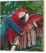 Red Macaw Wood Print