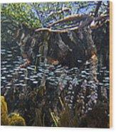 Red Mangrove Rhizophora Mangle Aerial Wood Print