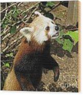 Red Panda Feeding Time Wood Print