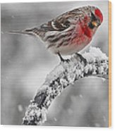 Red Poll - Cold But Hungry Wood Print