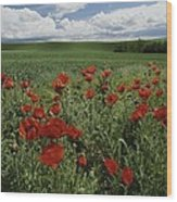 Red Poppies Edge A Field Near Moscow Wood Print