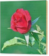 Red Rose With Star-shaped Collar Wood Print