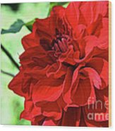 Red Ruby Dahlia Wood Print