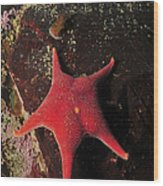 Red Sea Star And Limpet On Brown Rock Wood Print