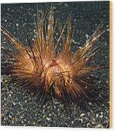 Red Sea Urchin (astropyga Radiata) Wood Print