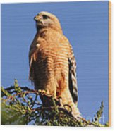 Pismo Beach Red Shoulder Hawk Wood Print